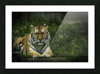 Next Strike  Tiger  Picture Frame print