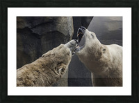 The Fight   Polar Bears  Picture Frame print