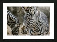 Stripes  Zebra  Picture Frame print