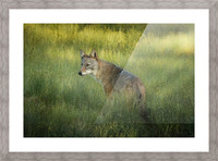 Evening Coyote Picture Frame print
