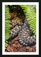 Soaking up Shade   Rattle Snake  Picture Frame print