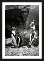 Posing for the Camera  Penguin  Picture Frame print