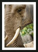 Wrinkles  Elephant  Picture Frame print