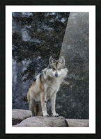 Cold Night Wolf Picture Frame print