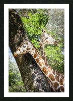 Spots Under Shadows  Giraffes  Picture Frame print