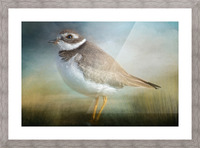 Semipalmated Plover Picture Frame print