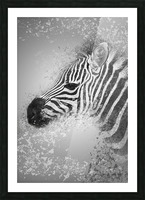 zebre 2 Picture Frame print