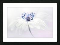 Anemone blanda Picture Frame print