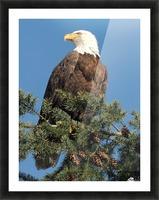 Bald Eagle at Herring Season  Picture Frame print