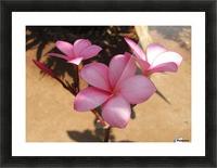 Pink Plumeria Picture Frame print