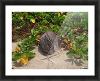 Coconut in the Sand Picture Frame print