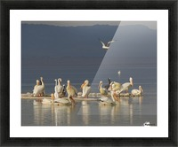 Pelicans of the Salton Sea Picture Frame print