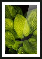 Rain Drops and Hosta Leaves Picture Frame print