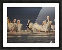 Pelicans at the Salton Sea Picture Frame print