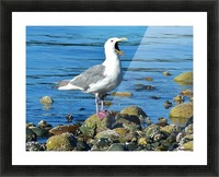 Yawning Gull Picture Frame print