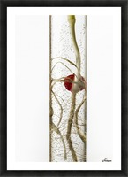 A corn seedling in a test tube on white background; Iowa, United States of America Picture Frame print
