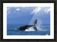 A Humpback Whale calf frolicks in Lynn Canal near Berners Bay, Inside Passage, Alaska Picture Frame print