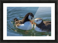 Close up of a pair of Horned Puffins being affectionate, Kodiak, Southwest Alaska Picture Frame print