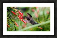 Hummingbird Picture Frame print