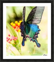 Butterfly not in the sky Picture Frame print