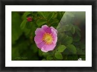 Nootka Rose Picture Frame print