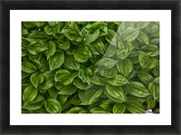 Hosta Picture Frame print