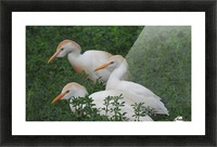 Cattle Egrets Picture Frame print
