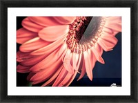 Gerbera flower background Picture Frame print