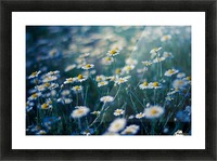 Summer, spring daisy field Picture Frame print