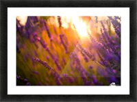 Sunset lavender flowers Picture Frame print
