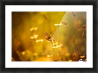 Golden sunset. Daisy and butterfly Picture Frame print