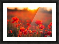 Beautiful Sunset poppy flowers Picture Frame print