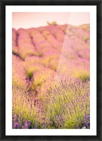 Beautiful Sunset lavender flowers on a field Picture Frame print