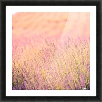 Sunset lavender flowers, instagram effect Picture Frame print