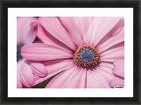 Gerbera flower background Picture Frame print