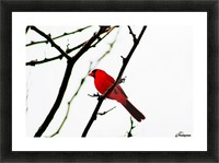 Cardinal Male Picture Frame print