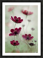 Cosmos sway Picture Frame print