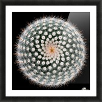 Notocactus scopa Picture Frame print