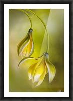 Tulipa Picture Frame print