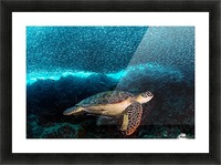 Turtle and Sardines Picture Frame print