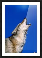 Howling Coyote Picture Frame print
