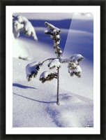 Heavy Snow On Young Pine Tree Picture Frame print
