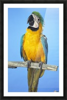 Blue-And-Gold Macaw Picture Frame print