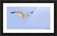 Seagull In Flight Picture Frame print
