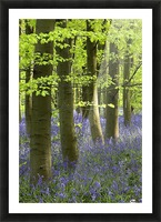 Bluebells In The Woods, Nottinghamshire, England Picture Frame print