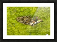 A Rio Grande Leopard Frog Sitting On A Bed Of Algae Picture Frame print