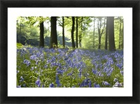 Bluebells On Forest Floor Picture Frame print