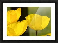 Welsh Poppy Picture Frame print