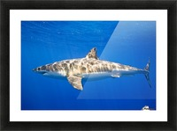 Great White Shark (Carcharodon Carcharias) Picture Frame print