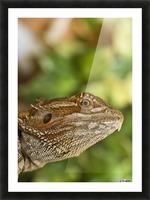 Bearded Dragon Lizard Picture Frame print